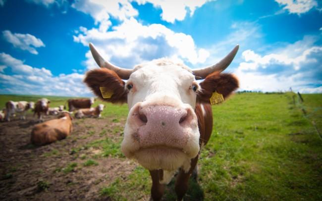 Любопытная корова